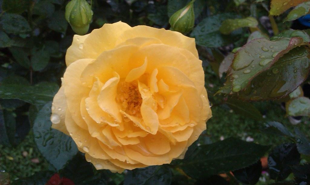 黃玫瑰-5.jpg