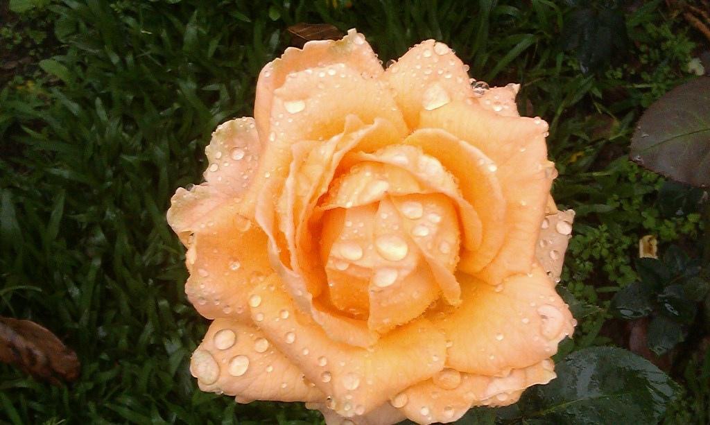 黃玫瑰-6.jpg