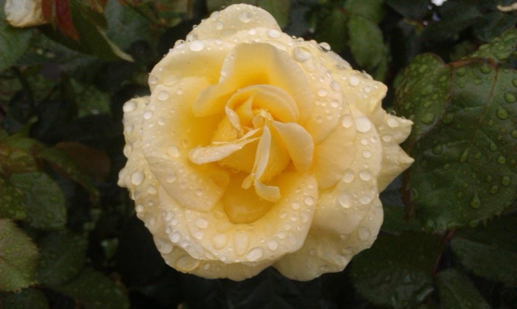 黃玫瑰-7.jpg