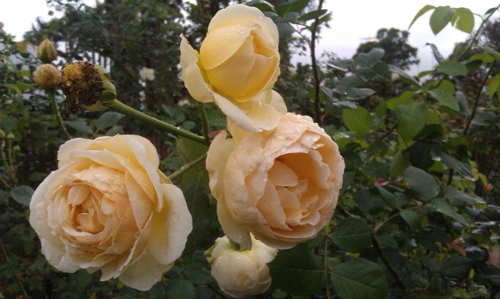 黃玫瑰-8.jpg