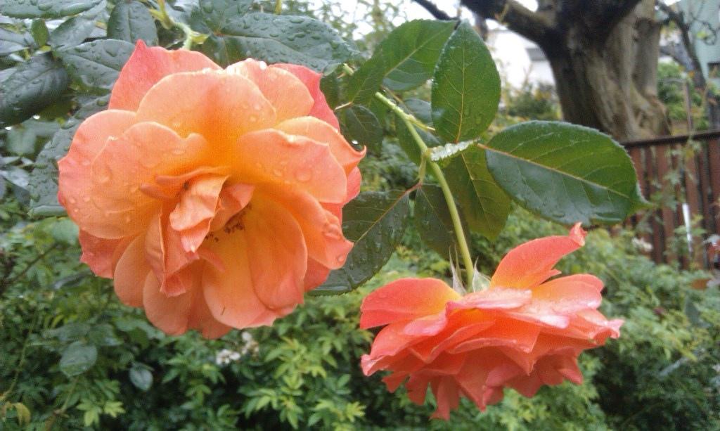 橙色玫瑰-1.jpg