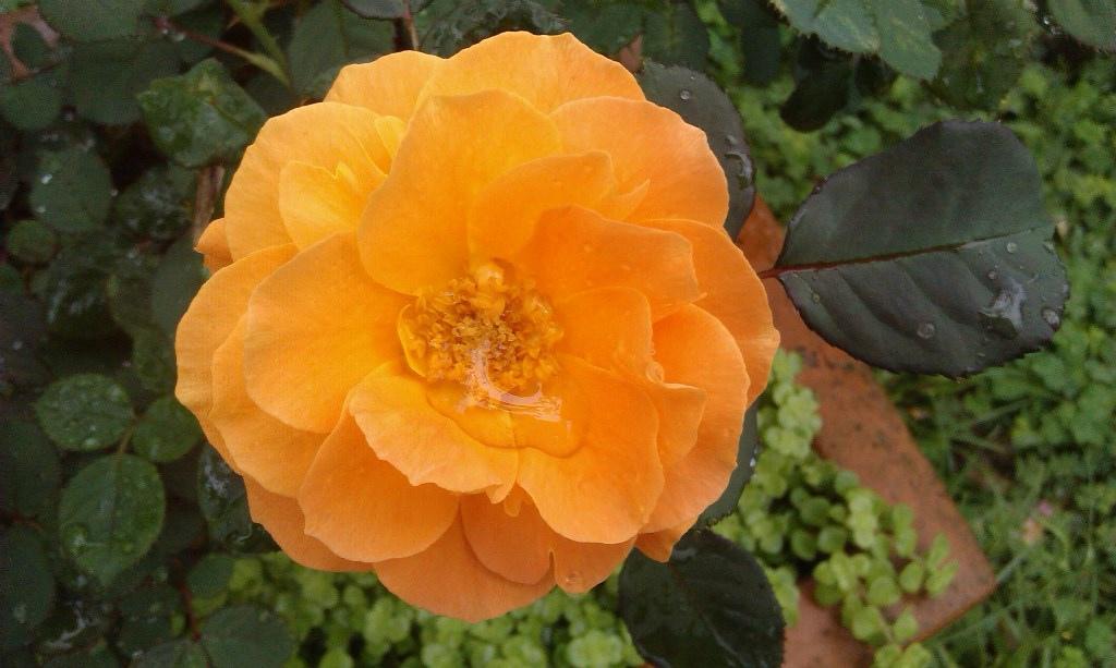 橙色玫瑰-2.jpg