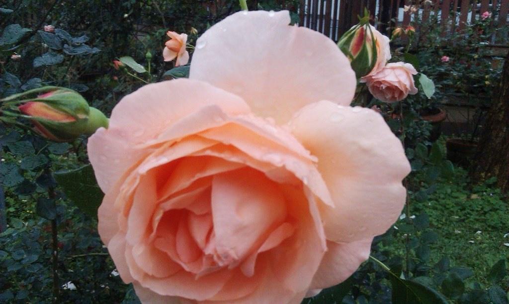 橙色玫瑰-3.jpg
