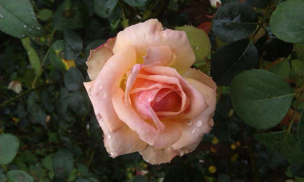 橙色玫瑰-4.jpg