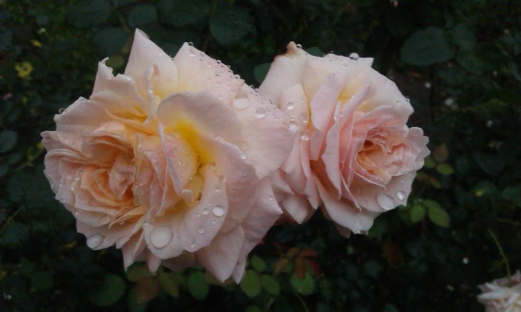 橙色玫瑰-5.jpg