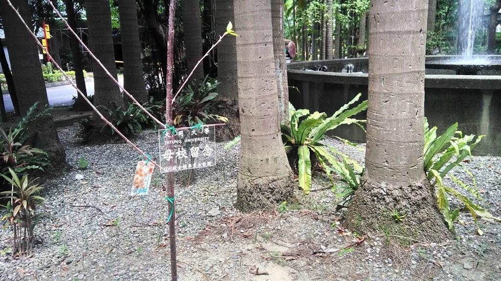 大同大學-畢業生捐贈櫻花樹.jpg