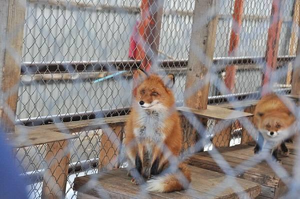 第一次看到真的狐狸