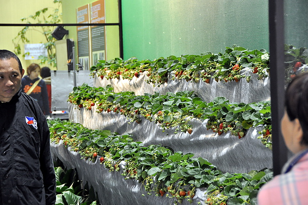 草莓立體栽培