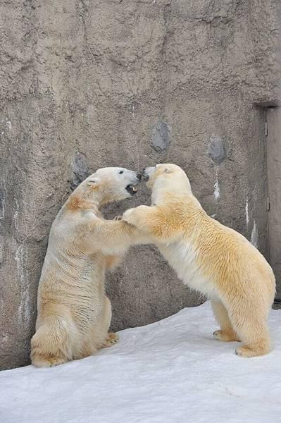 看過北極熊打架嗎?