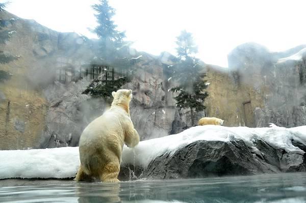 水下觀賞北極熊