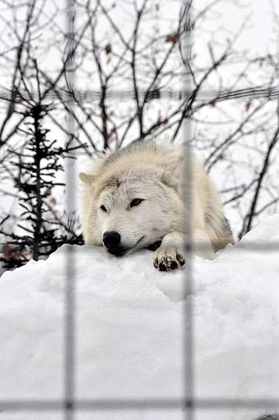 園區的鎮園野生白野狼