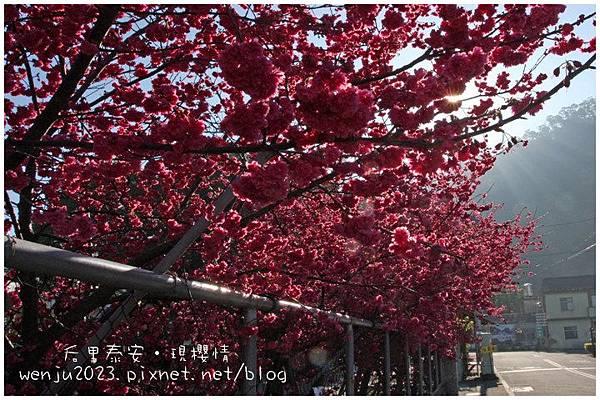 泰安櫻花IMG_1284b
