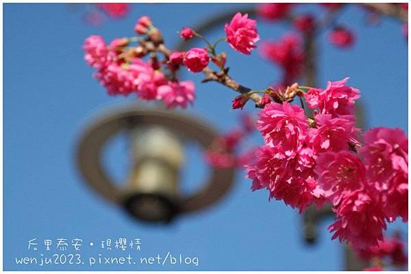 泰安櫻花IMG_1297b