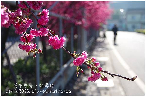 泰安櫻花IMG_1299b