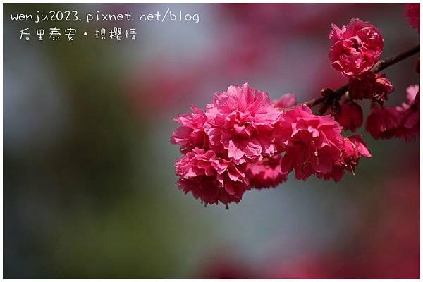 泰安櫻花IMG_1375b