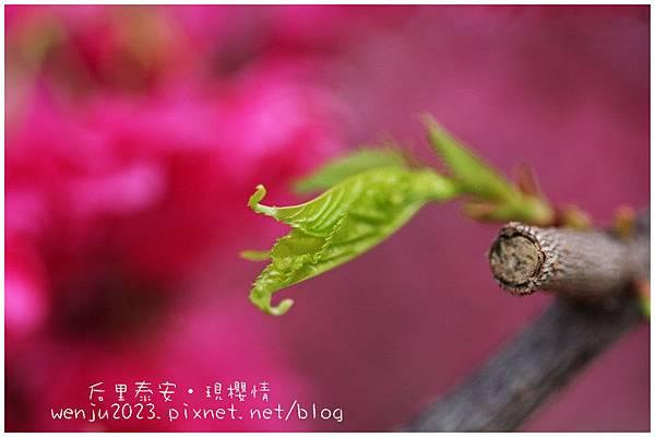 泰安櫻花IMG_1437b