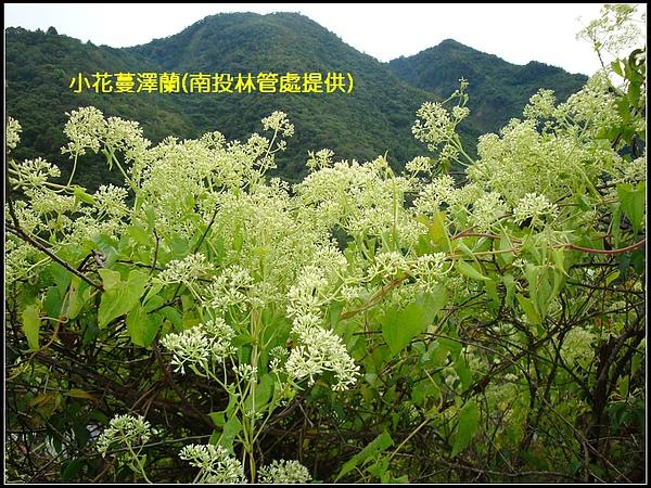 小花蔓澤蘭(南投林管處提供).jpg