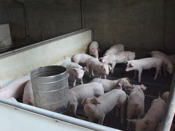 乾淨的豬舍