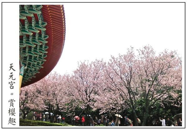 好多櫻花樹阿