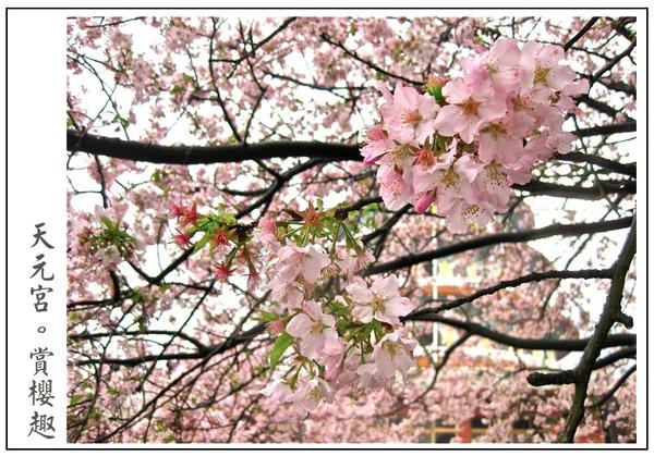 櫻花好美唷