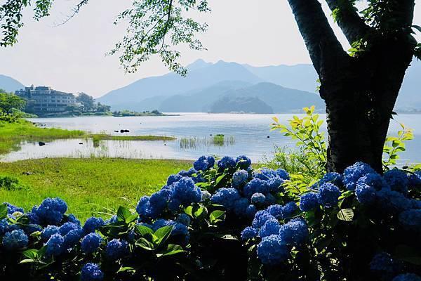 2018。河口湖紫陽花