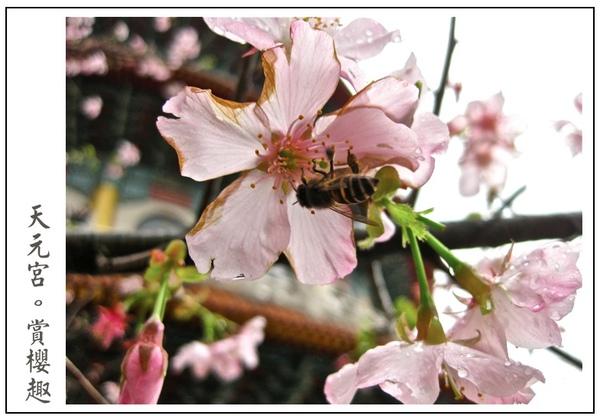 蜜蜂也來採蜜囉