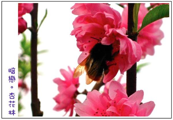 蜜蜂採蜜中