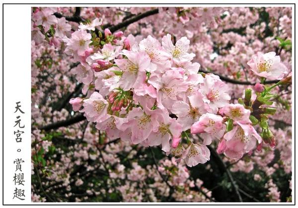 也太茂密的櫻花了