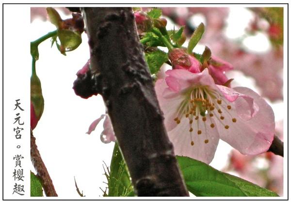 粉紅櫻花好美