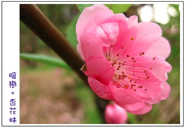 粉紅杏花特寫