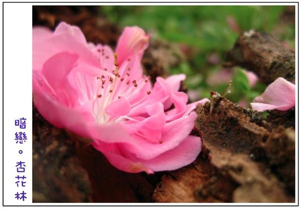 掉落在朽木的杏花