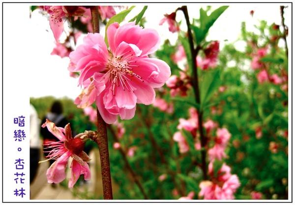 粉紅杏花好美阿-0002.jpg