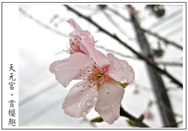 不畏寒風的櫻花