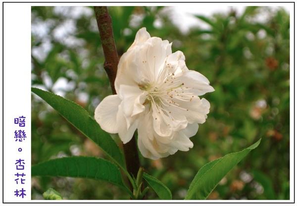 白色的杏花