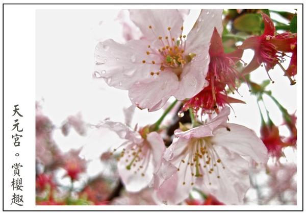 天元宮櫻花正美