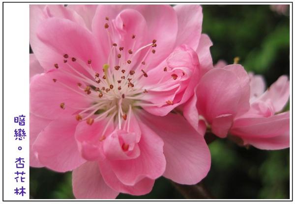 好大朵粉紅色的杏花