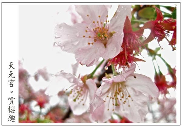 特寫櫻花鏡頭唷