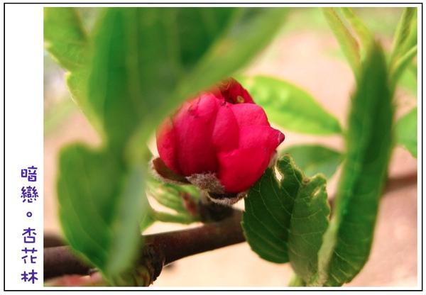 含苞待放的杏花