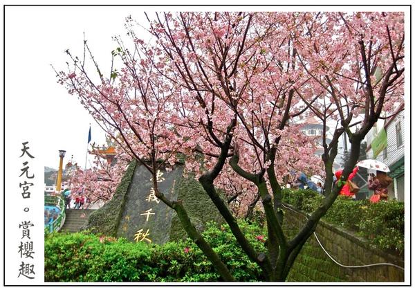 真是超茂盛的櫻花