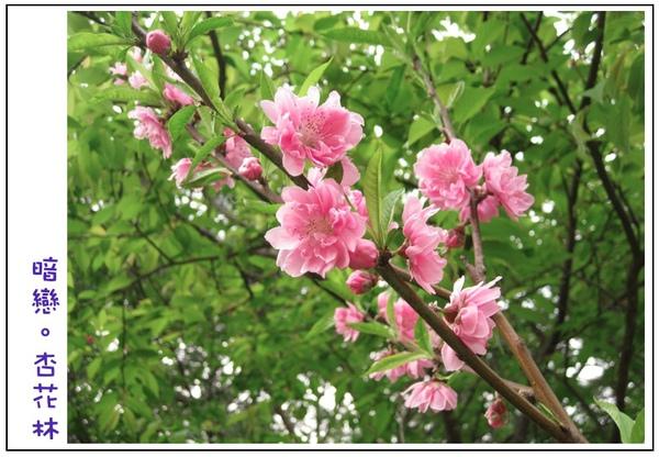 一整支旺盛的杏花