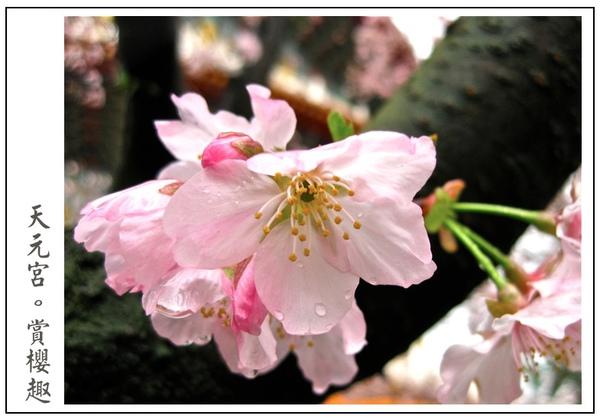 枝幹上的櫻花真美