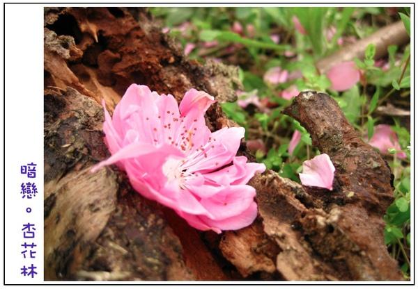 掉落在朽木上的杏花
