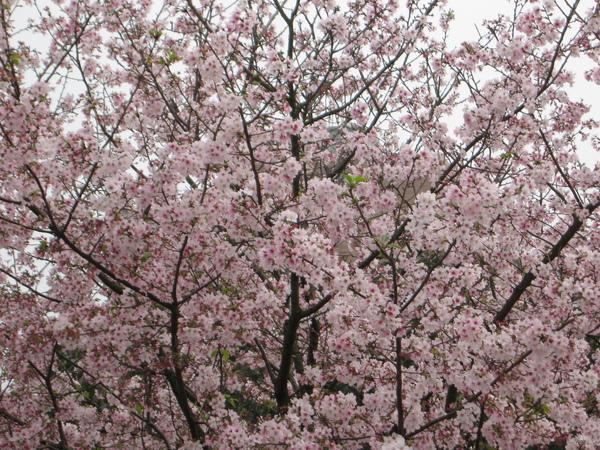 櫻花林景.JPG