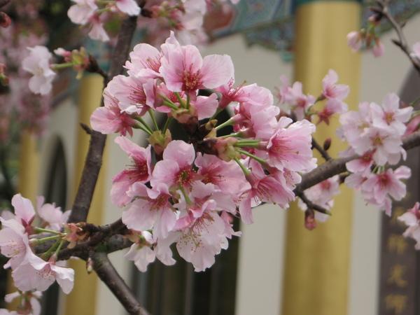 櫻花錦簇.JPG