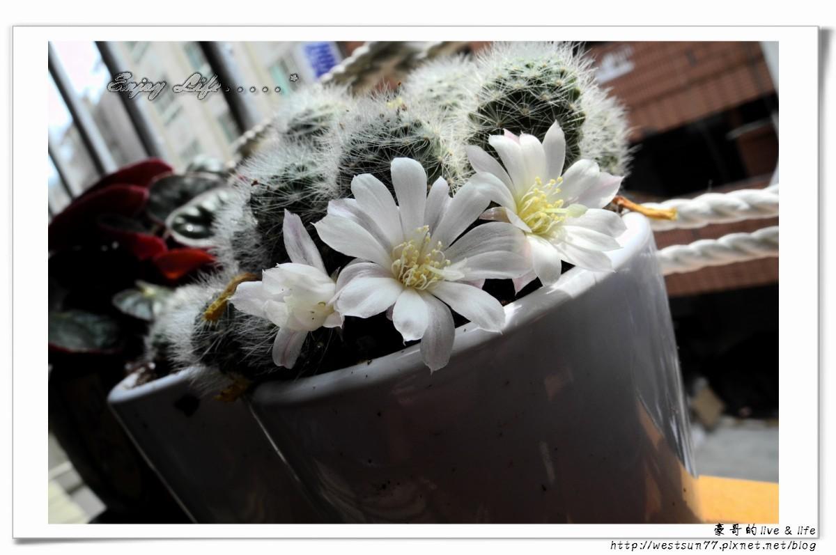 仙人掌開花1.jpg