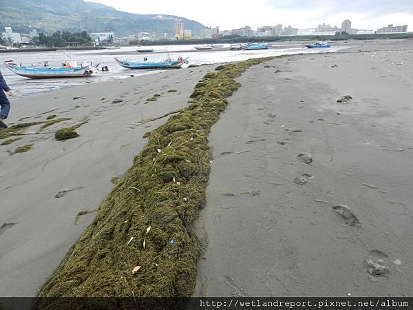 20120321 淡水河馬尾藻漂入及食物網採樣 謝蕙蓮攝 027 挖子尾