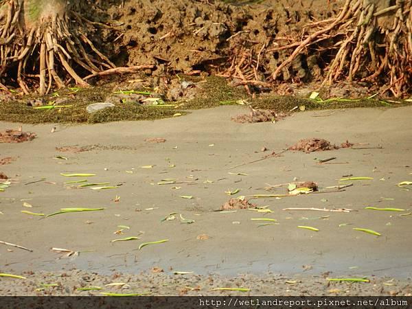 20120321 淡水河馬尾藻漂入及食物網採樣 謝蕙蓮攝 031 竹圍