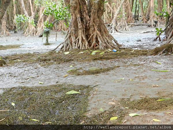 20120321 淡水河馬尾藻漂入及食物網採樣 謝蕙蓮攝 049 竹圍