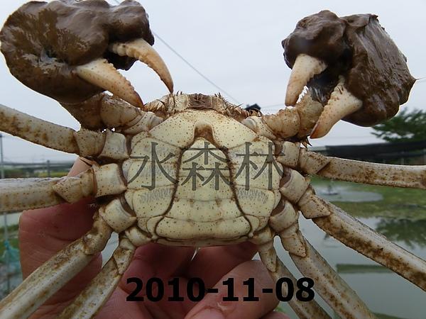 水森林蟹-8-1.jpg
