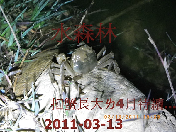 100年慶大閘蟹成長過程記錄-3 009.jpg